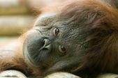 Orang-utan lying down — Stock Photo