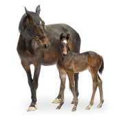 Mare with her Foal (12 days) — Stock Photo