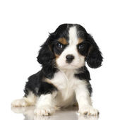 Cavalier King Charles Spaniel puppy — Stock Photo