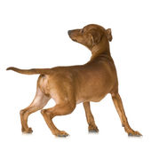Rear view of a dog looking up — Stock Photo