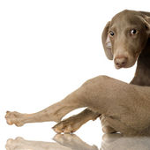 Puppy Weimaraner — Stock Photo