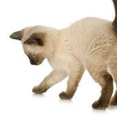 Siamese kitten — Stock Photo