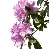Różanecznik — Zdjęcie stockowe