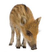 Young wild boar ( 7 weeks ) — Stock Photo