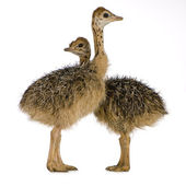 Ostrich Chick — Stock Photo