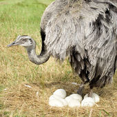 Ostrich Chick in front of a white background — Stock Photo