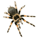 Brachypelma smithi — Stock Photo