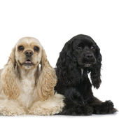 Couple of Cocker Spaniel — Stock Photo