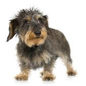 Coarse haired Dachshund (3 years) — Stock Photo