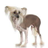 Chinese Crested Dog - Hairless — Stock Photo