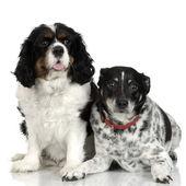 颜色色板风扇联络员斯宾格犬 — 图库照片