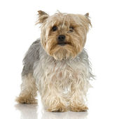 Yorkshire Terrier (3 years) — 图库照片