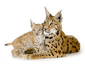 Lynx (2 years) and her cub (2 mounths) — Stock Photo