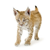Lynx cub (2 mounths) — Stock Photo