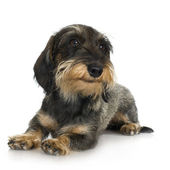 Young Coarse haired Dachshund (11 mounths) — Stock Photo