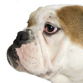 Close-up on a english Bulldog — Stock Photo