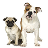 English Bulldog and a pug — Stock Photo