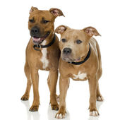 Juvenile American Staffordshire terrier — Stock Photo