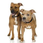 Juvenile american staffordshire terrier — Stockfoto