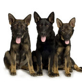 German shepherd, alsatian, police dog ( 5 month ) — Foto de Stock