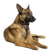 German shepherd , alsatian, police dog ( 6 years ) — Stock Photo
