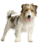 Jack russel long haired ( 1 years ) — Stock Photo