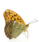Silver Washed Fritillary Butterfly — Stock Photo