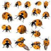 7 spot ladybird in different positions — Foto de Stock