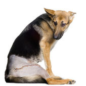 Young wounded german shepherd — Stock Photo