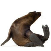 Sea-lion pup (3 months) — Stock Photo