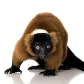 Red Ruffed Lemur — 图库照片