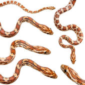 Collection of six Corn Snake — Stock Photo