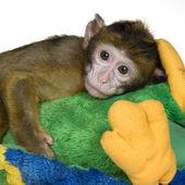 小巴巴猕猴-猕猴西尔韦纳斯 — 图库照片
