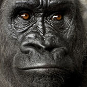 Young Silverback Gorilla — Stock Photo