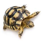 Herman's Tortoise - Testudo hermanni — Stock Photo