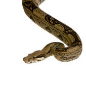 Boa constrictor in front of a white background — Stock Photo