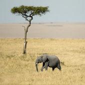 African Elephant Masai mara Kenya — Stock Photo