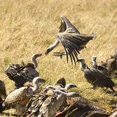 Vulture at Masai mara Kenya — Stock Photo