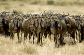 Wildebeest Masai mara Kenya — Stock Photo