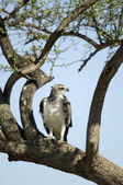 Buteo Masai mara Kenya — Stock Photo