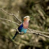 Lilac-breasted Roller Masai mara Kenya — Stock Photo