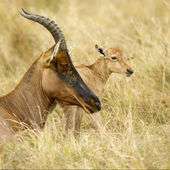 Young Topi Masai mara Kenya — Stock Photo