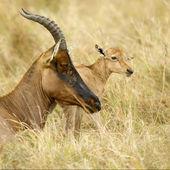 Young Topi Masai mara Kenya — Stock Photo