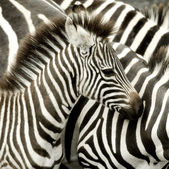 Herd of zebra at Masai mara Kenya — Stock Photo
