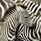 Herd of zebra at Masai mara Kenya — Stock Photo