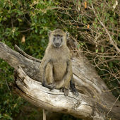 Baboon Masai mara Kenya — Stock Photo