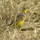 Bird Masai mara Kenya — Stock Photo