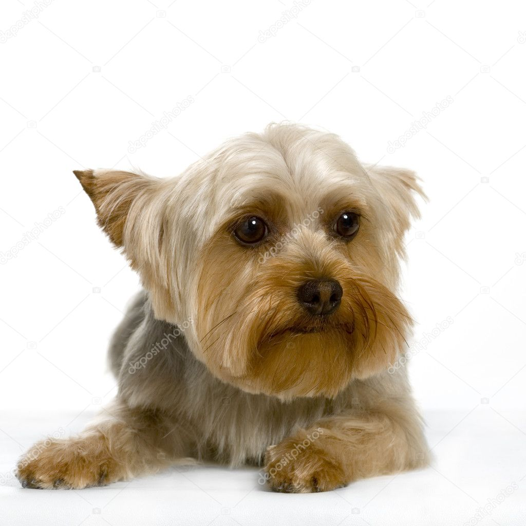 Portrait of yorkshire Sitting in front of white background — Stock Photo #10861399