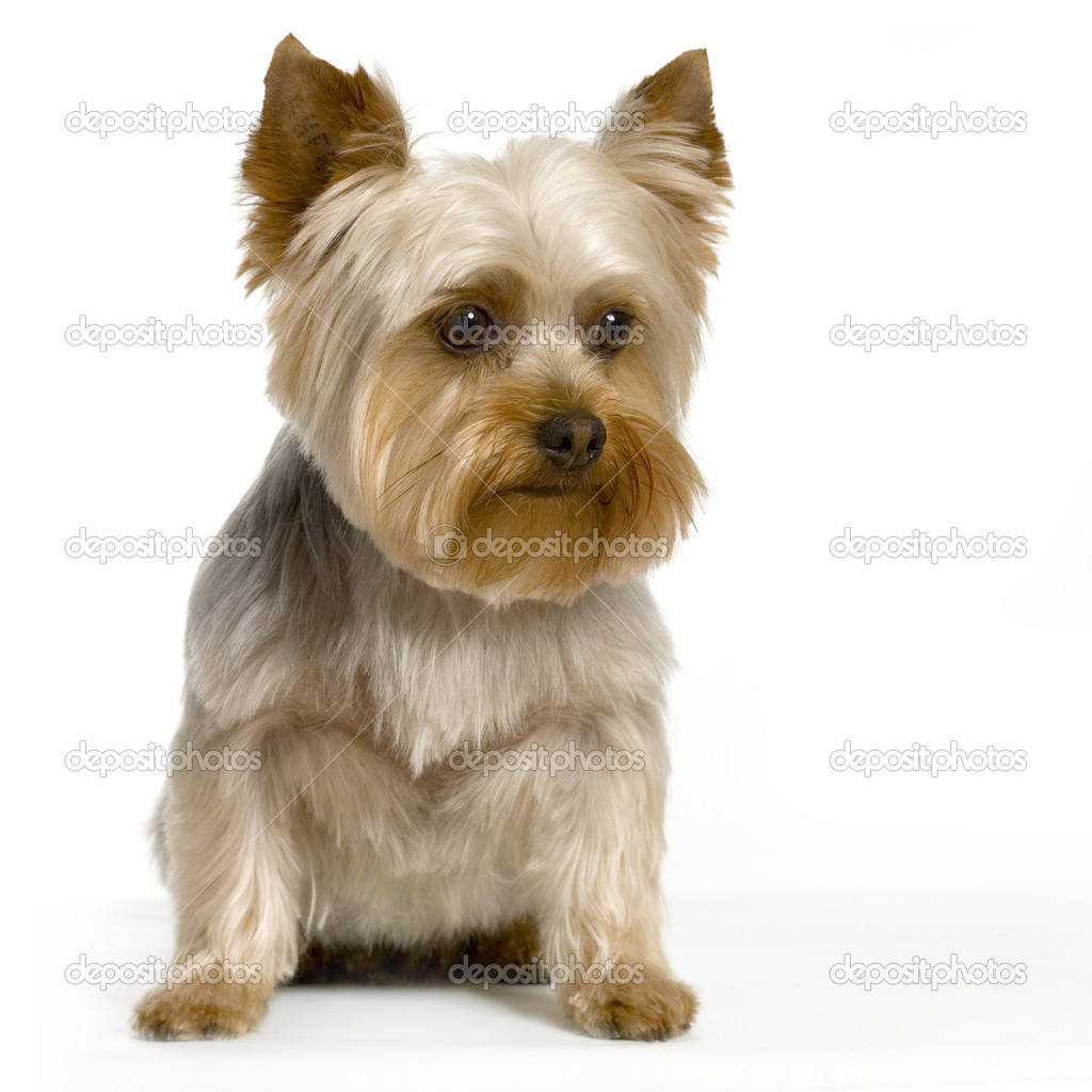 Portrait of yorkshire Sitting in front of white background — Stock Photo #10861403