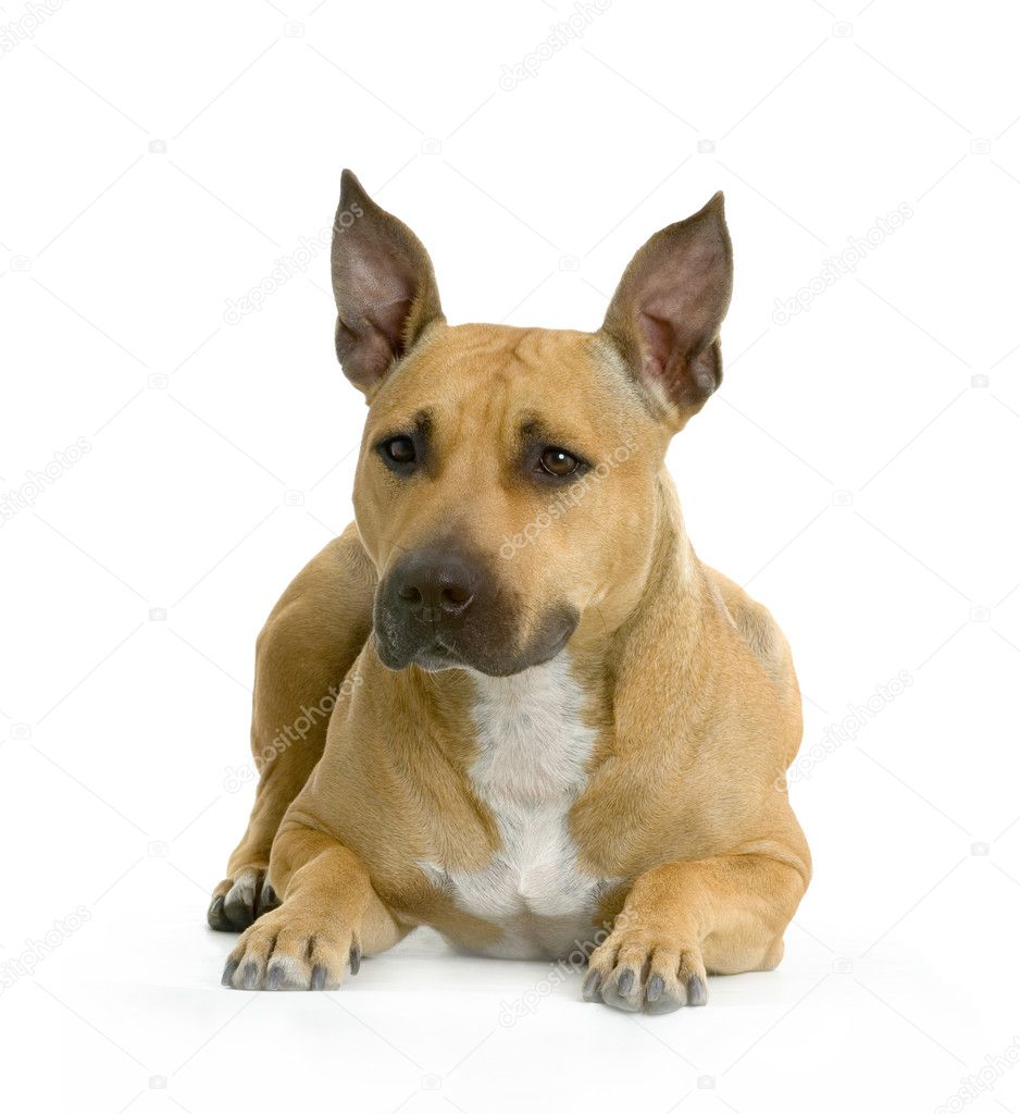 American Staffordshire terrier hazel lying in front of white background — Stock Photo #10862049